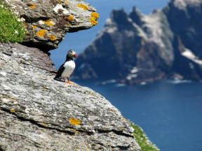 Skellig Island Puffin, Ring of Kerry, Ireland